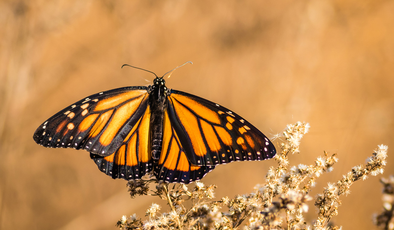 Monarch butterfly on dry flowers