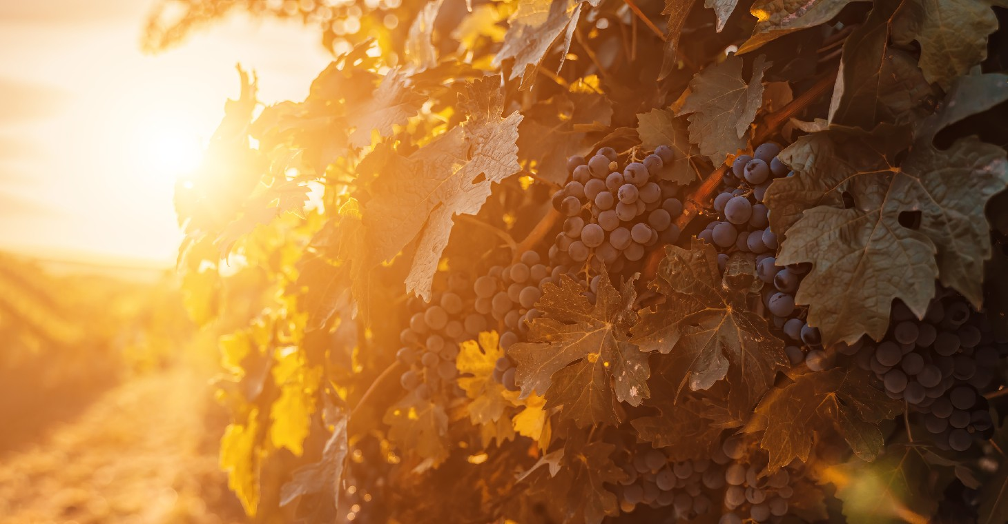 grapes in a Cedarburg vineyard